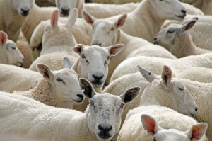 sheep-55450_1280